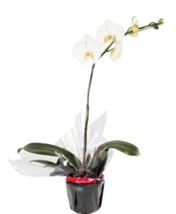 Gift wrapped Phalenopsis Orchid